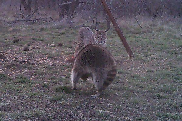 Bobcat & Big Racoon